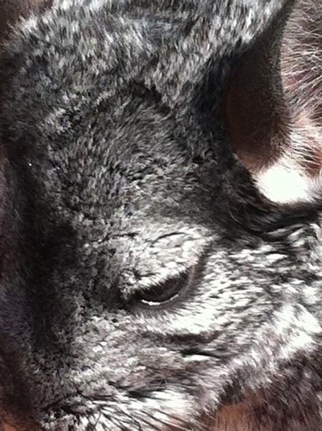 Chinchilla close up