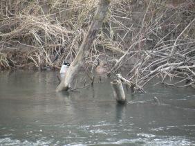 Duck Butts