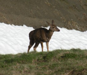 deer in Olympic National park