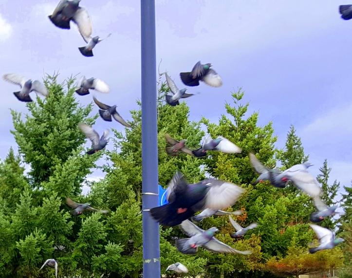 #pigeonado
